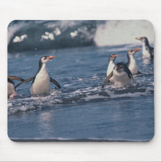 Australia, subantarctic Macquarie Island. Royal Mouse Mat