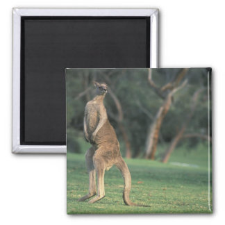 Australia, Vic. Kangaroo on the Anglesea Golf Magnet