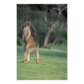 Australia, Vic. Kangaroo on the Anglesea Golf Photographic Print