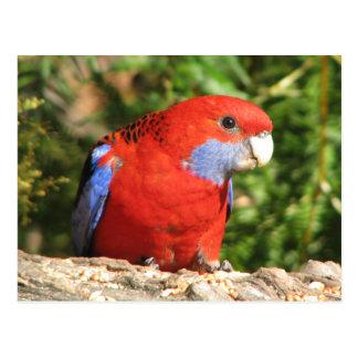 Australian Crimson Rosella Postcard