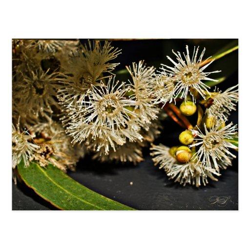 Australian Eucalyptus Flower & Fruit Postcard