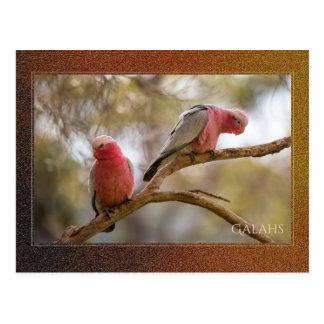 Australian Galahs Postcard