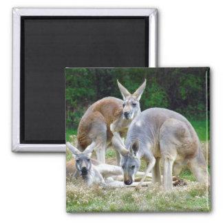 Australian Kangaroos Relaxing in the Sun Magnet