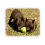 Australian Kelpie puppies 9P022D-018 Postcard