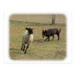 Australian Kelpie with sheep 9P21D-331 Postcard