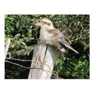 Australian Kookaburra Kingfisher Family Postcard