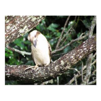 Australian Kookaburra Waiting For Food Postcards