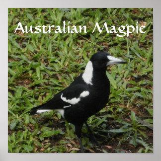 Australian Magpie Print