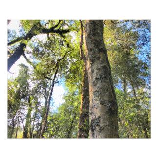 Australian Rainforest Eucalyptus Gum Trees Photographic Print