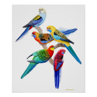 Australian Rosella Parrots Print