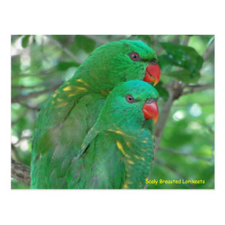 Australian Scaly Breasted Lorikeets Postcard