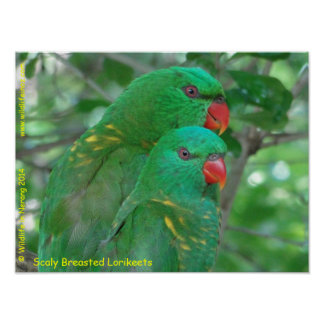 Australian Scaly Breasted Lorikeets Poster