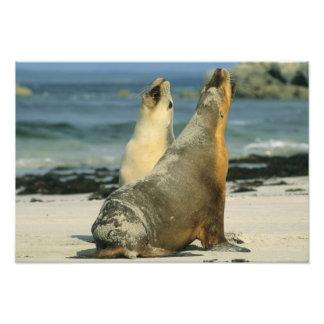 Australian Sea Lions, Neophoca cinerea), 2 Photo Art