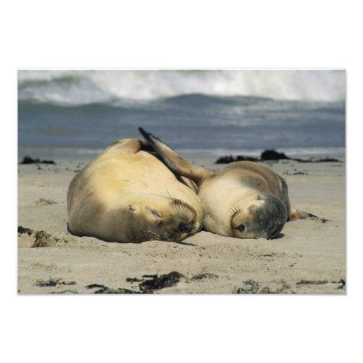 Australian Sea Lions, Neophoca cinerea), Photograph