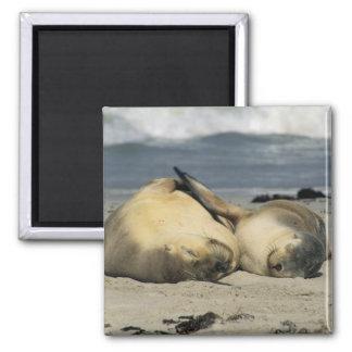 Australian Sea Lions, Neophoca cinerea), Square Magnet