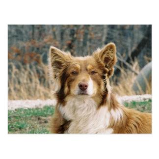 Australian Shepherd Dog Postcard