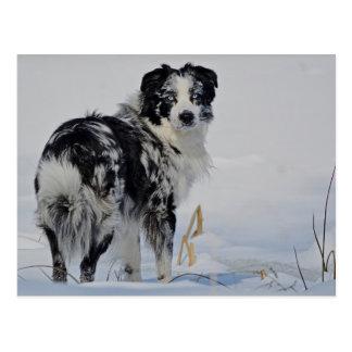 Australian Shepherd in the snow Postcard