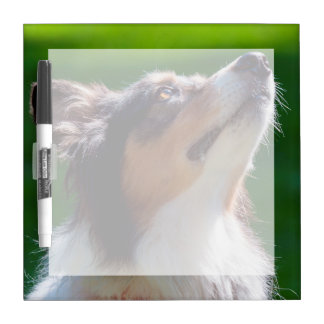 Australian Shepherd looking up Dry Erase Whiteboard