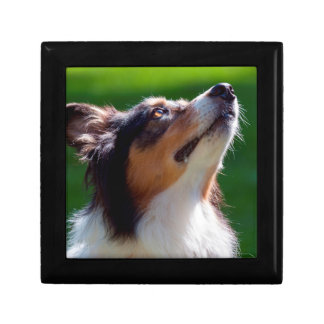 Australian Shepherd looking up Small Square Gift Box