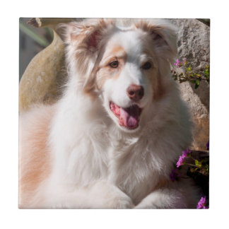 Australian Shepherd lying on garden stairs Tile
