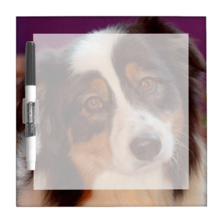 Australian Shepherd portrait Dry-Erase Whiteboards