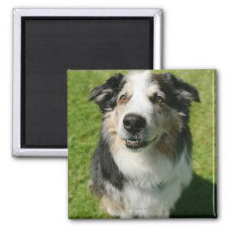 Australian Shepherd smiling at camera Square Magnet