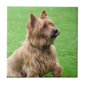 Australian Terrier dog beautiful tile or trivet