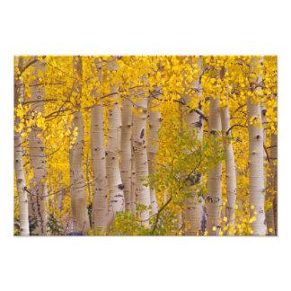 Autumn aspens in Kebler Pass in Colorado. Art Photo
