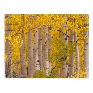 Autumn aspens in Kebler Pass in Colorado. Postcard