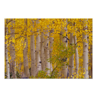 Autumn aspens in Kebler Pass in Colorado. Poster