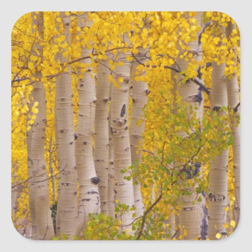 Autumn aspens in Kebler Pass in Colorado. Square Sticker