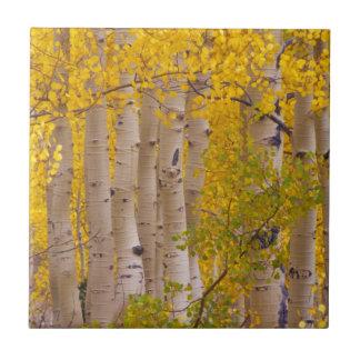 Autumn aspens in Kebler Pass in Colorado Tile