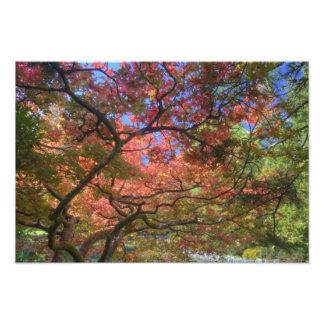 Autumn color Maple trees, Victoria, British 3 Photo Print