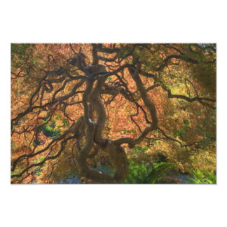 Autumn color Maple trees, Victoria, British Art Photo