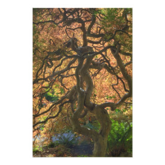 Autumn color Maple trees, Victoria, British Art Photo