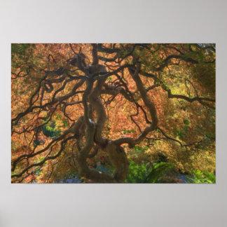 Autumn color Maple trees, Victoria, British Poster
