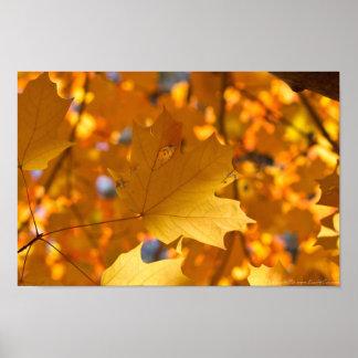 Autumn Golden  Gold Maple Leaf Poster
