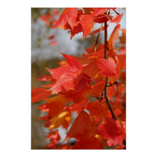 Autumn in Red Maple Poster