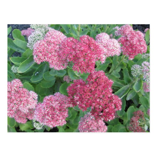Autumn Joy Sedum Flowering Garden Plant Pink Green