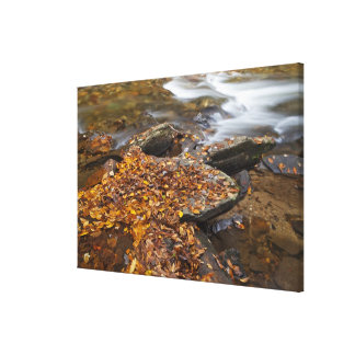 Autumn leaves along Looking Glass Creek in the Stretched Canvas Print
