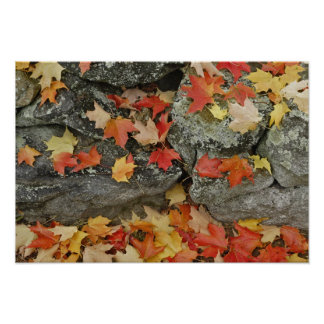 Autumn leaves on stone wall, Minute Man Poster