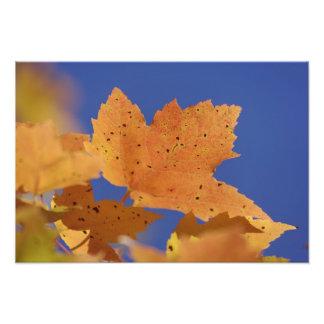 Autumn maple leaf and blue sky, White Photo Print