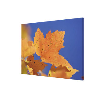 Autumn maple leaf and blue sky, White Stretched Canvas Print