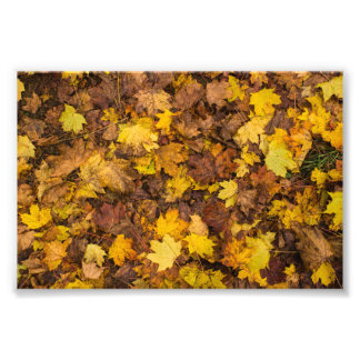 Autumn maple leafes photo print
