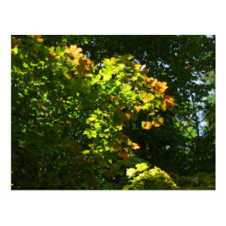Autumn Maple  Leaves Postcard