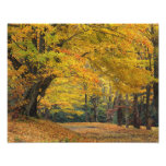 Autumn maple tree overhanging country lane,