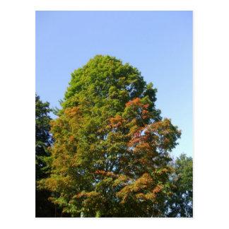 Autumn Maple Tree Postcard