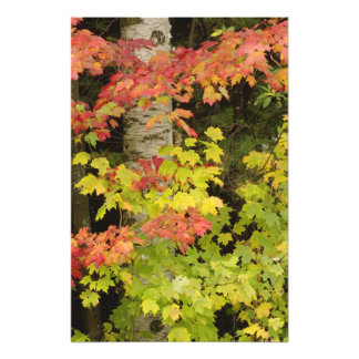Autumn maple trees and birch tree, White Photograph