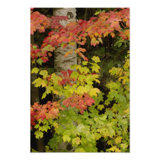 Autumn maple trees and birch tree, White Poster