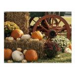 Autumn Pumpkins And Mum Display Postcard